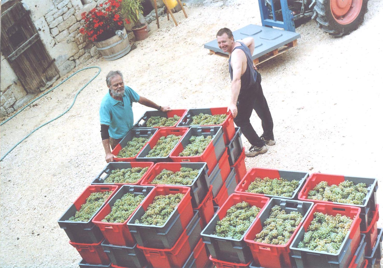 Hand-Harvested Grapes ready for processing