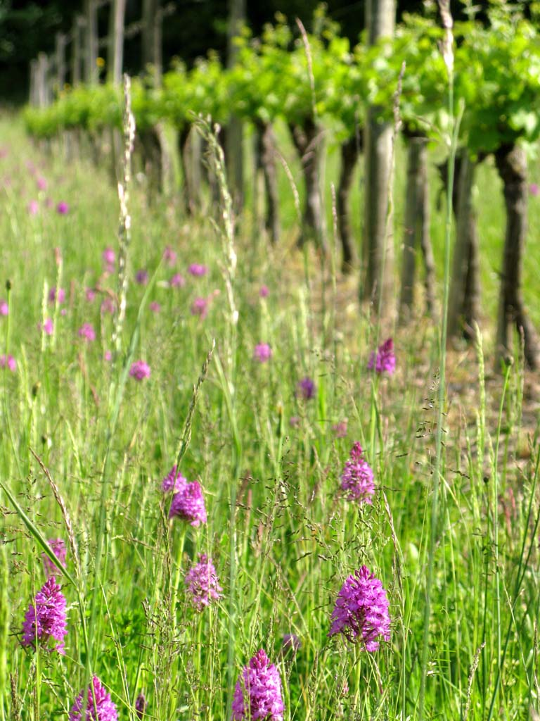 Orchids in the vines